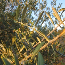 kleine Oliven