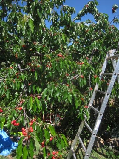 Frucht 1